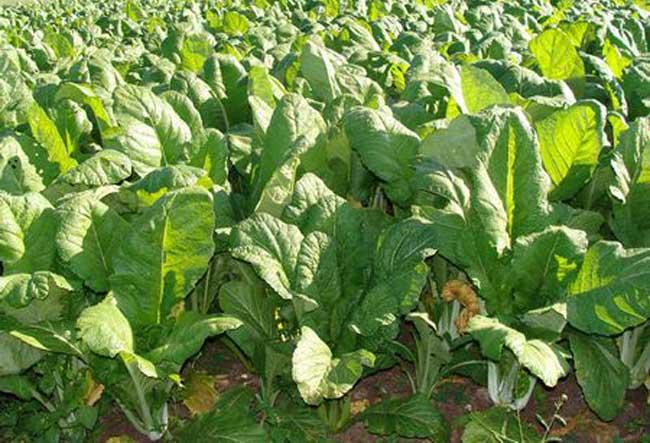 青菜的种植方法